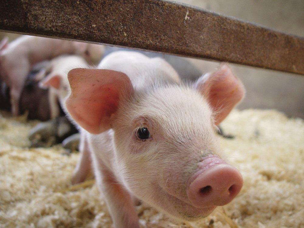 cute piglet 2