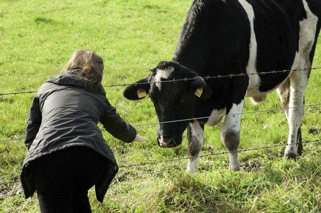 pr-cows-1