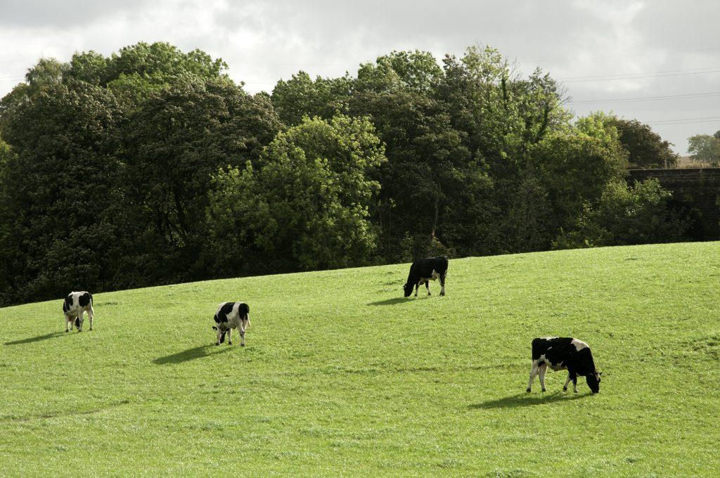 pro-cows-field